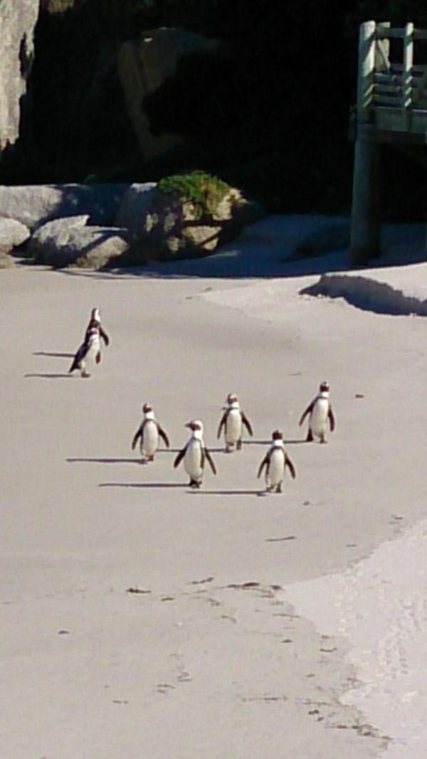 浜辺を行進するペンギン