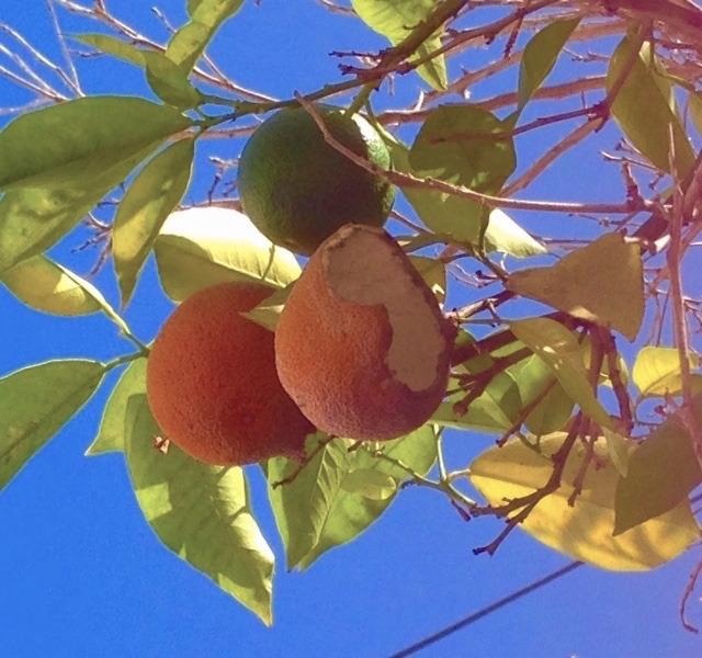 カリフォルニアの果樹