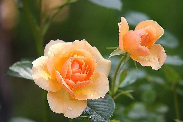 自分で作れるイングリッシュ・ガーデンのバラ